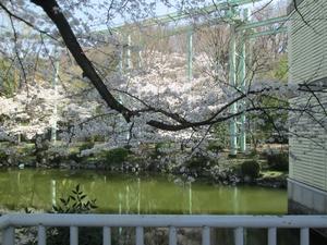 higashiyama_sakura_0660
