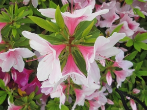 rhododendron_1139