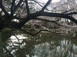 nagoya_sakura 15.45.05
