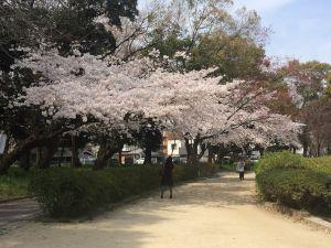 nagoya_sakura 11.59.28